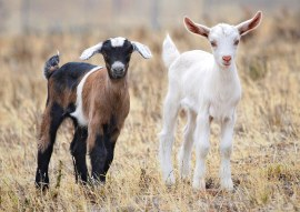 Baby_goats_jan_2007_crop