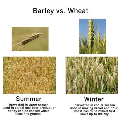 Barley vs Wheat