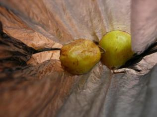 Two forgotten small pears in a bag. Remember, Remember...