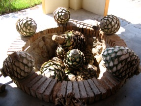Hearts_of_tequila_agaves